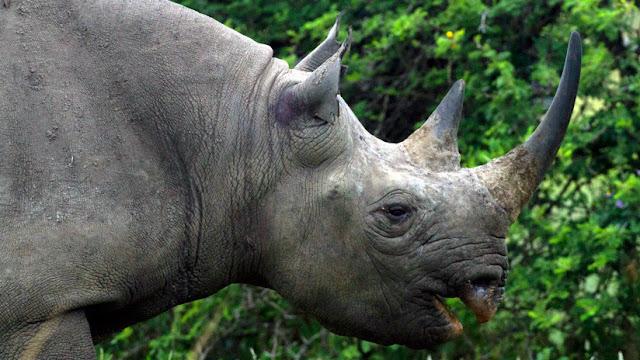 China autoriza el uso medicinal de cuernos de rinoceronte y huesos de tigre tras 25 años prohibido