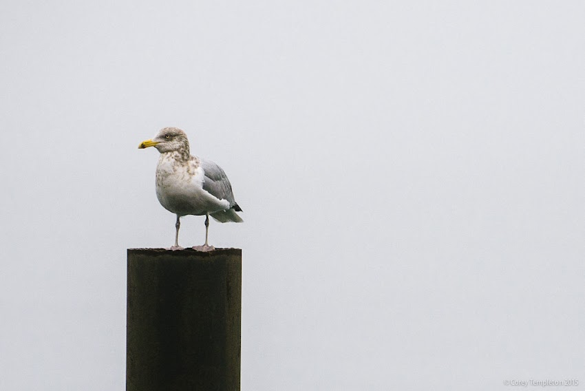 Portland, Maine USA December 2015 Photo by Corey Templeton of Casco Bay Seagull bird