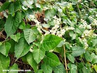 Fotos de arbustos de hoja perenne plantas riomoros for Plantas hoja perenne