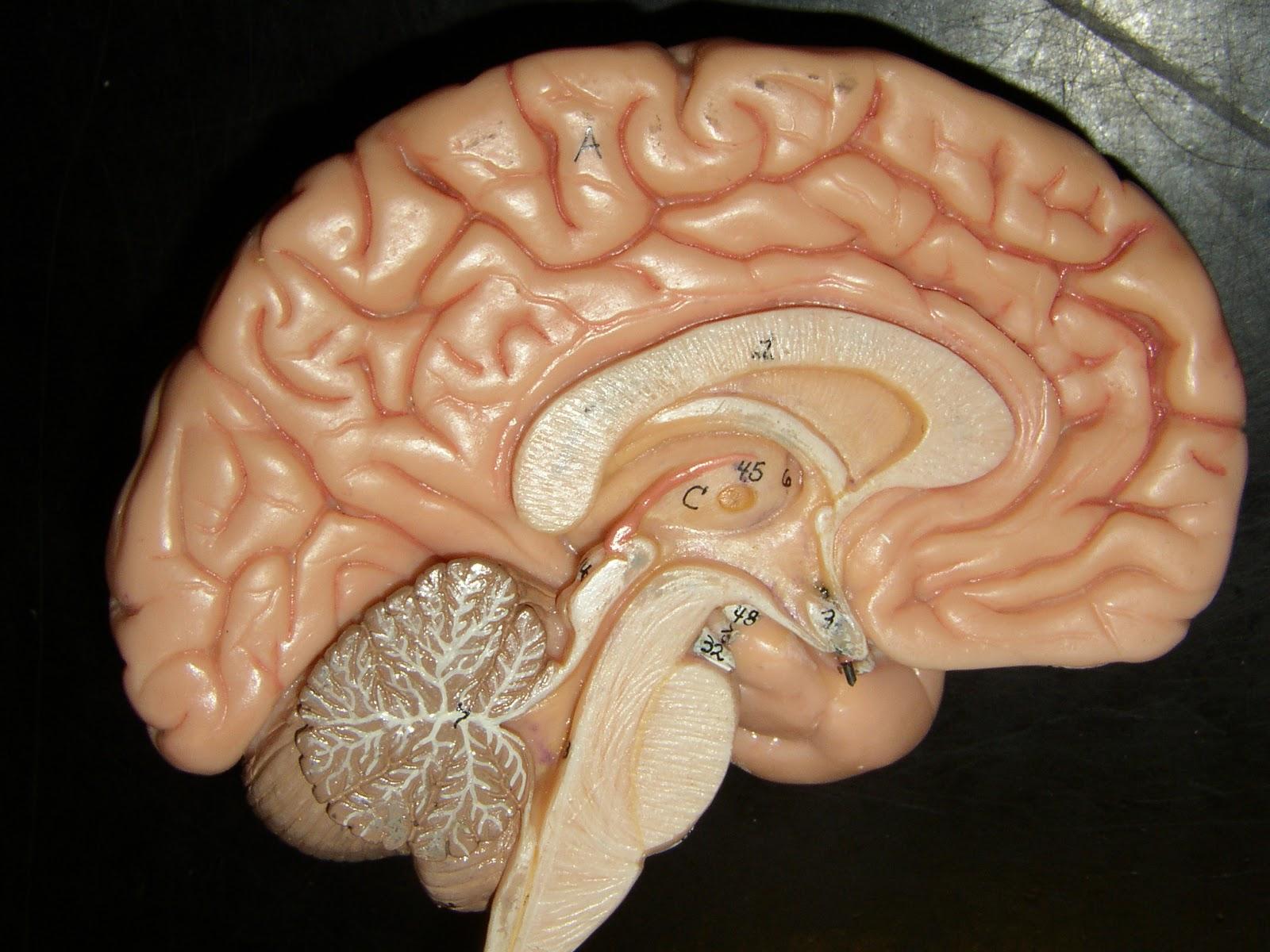 Brain Model Brain modelMidsagittal Section Of The Brain Labeled