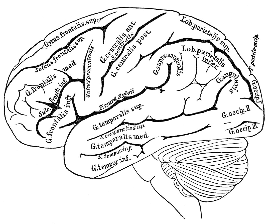 It is a photo of Candid brain anatomy coloring pages