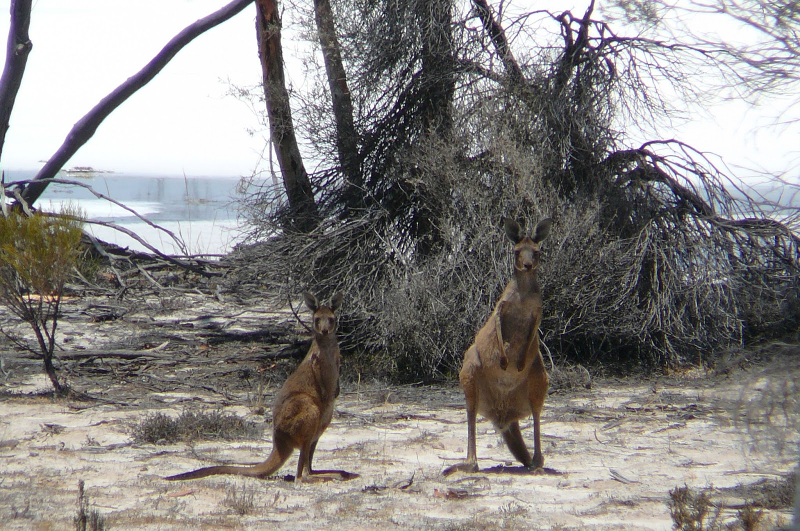 Mother and baby Kangaroos in Hyden Western Australia