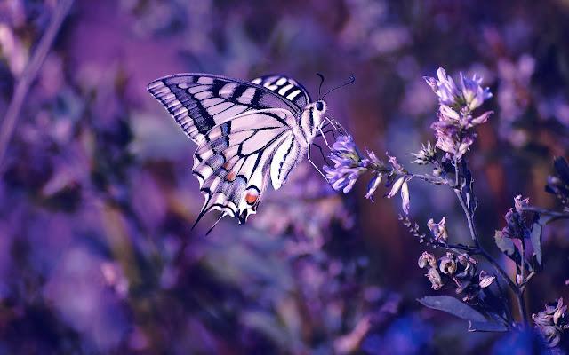 Foto van een paarse vlinder op een paarse bloem
