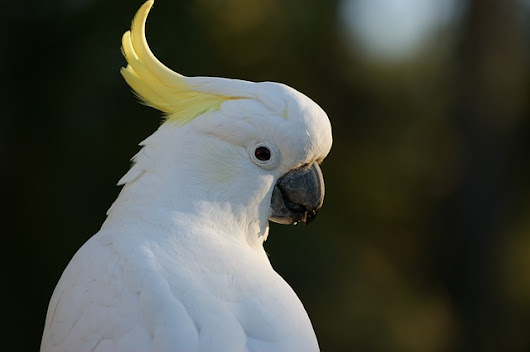 A Veteran Cockatoo Owner Sums up Cockatoo Ownership Perfectly         |          What to Do When Bored