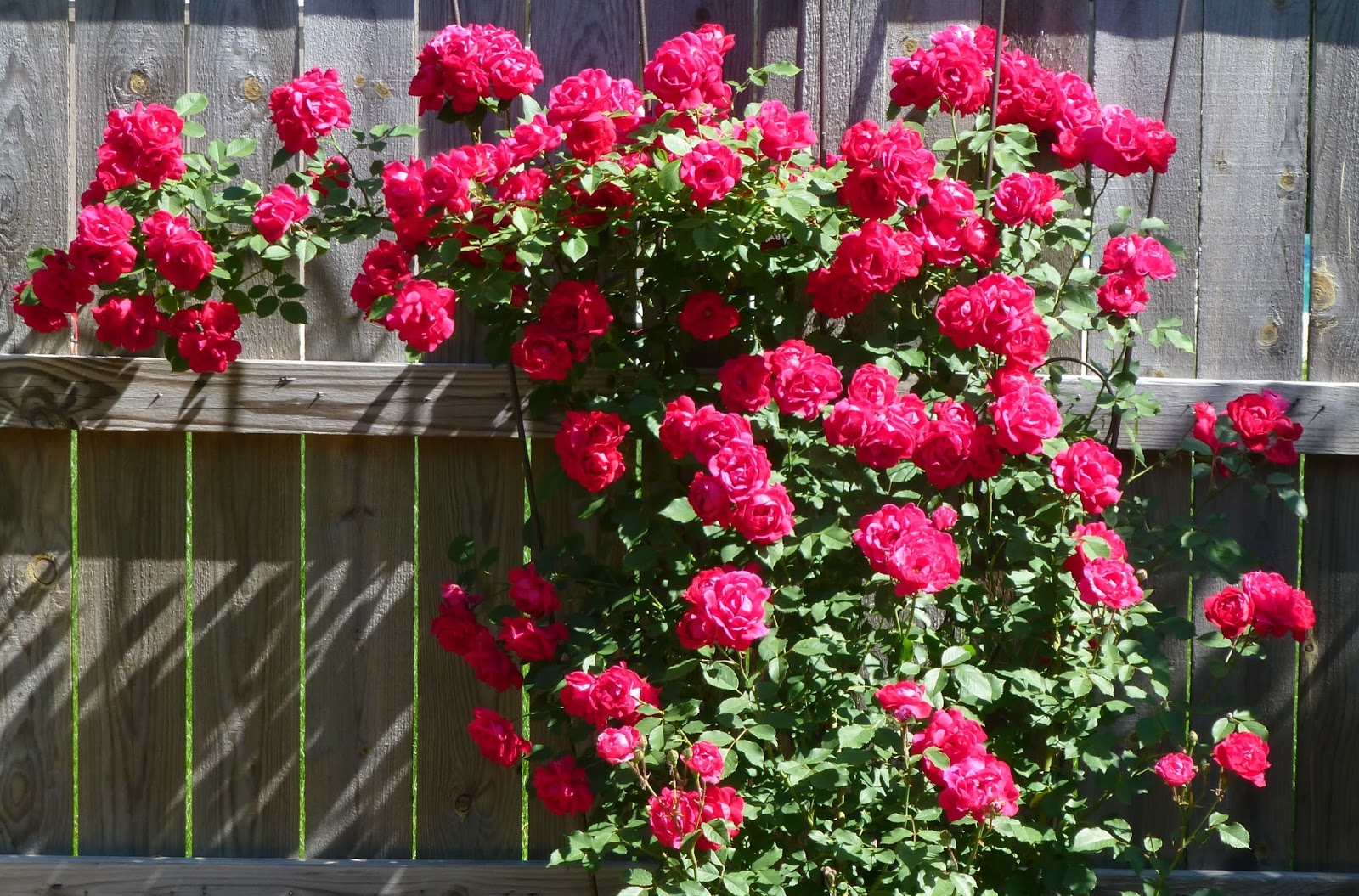 My Life In Retirement My Kingdom For A Rose Or Two