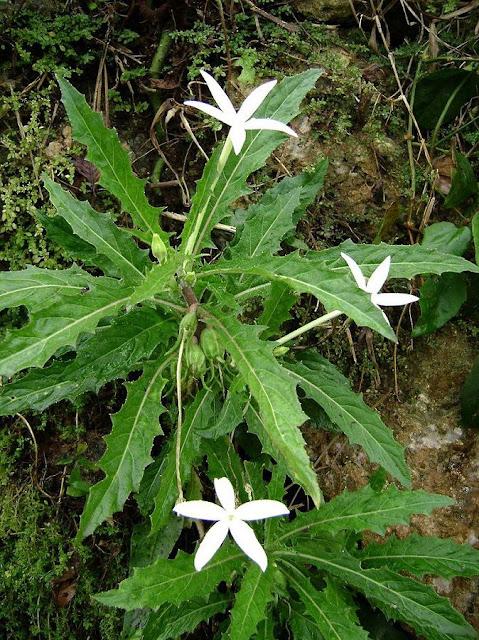 MÙ MẮT - Isotoma longifloia (Hippobroma longifolia) - Nguyên liệu làm thuốc Chữa Ho Hen