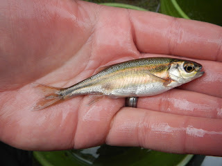 Richardsonius balteatus