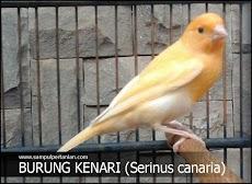 Inilah pakan burung Kenari agar cepat gacor/berkicau