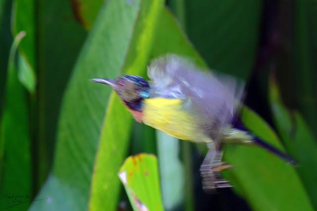Male Sunbird jumping, Birding during Eid-Adha Holiday