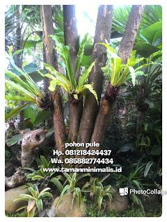 Kami tukang Taman menjual pohon pule, pulai, lame Batang besar,  Batang gruving,  tanaman unik dengan harga paling murah