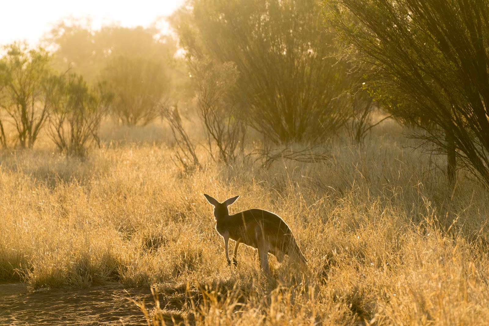 sunset at the kangaroo sanctuary