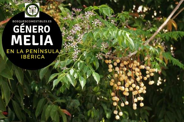 Lista de Especies del Género Melia, Familia Meliaceae en la Península Ibérica