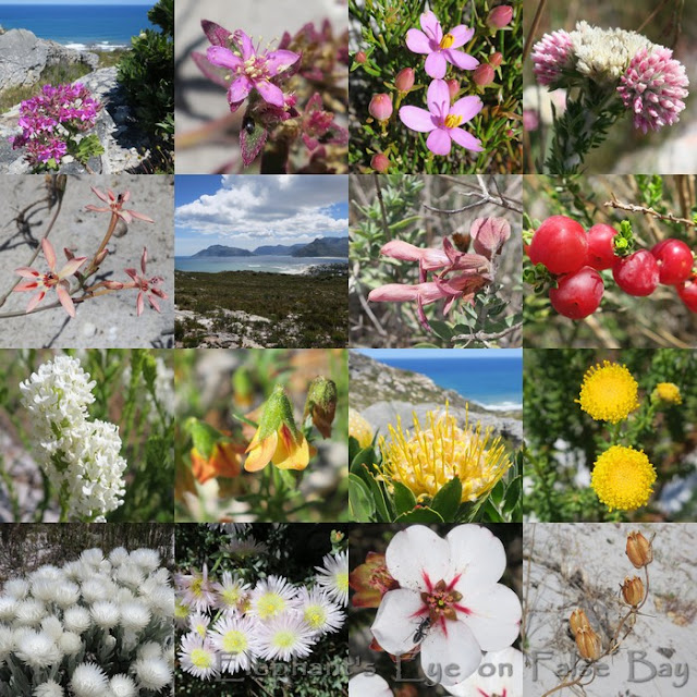 Slangkop October flowers