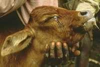 penyakit ingus pada sapi | usahaternak