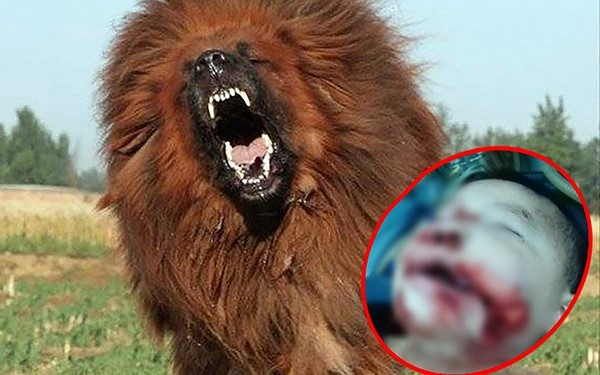 Bé 8 tháng tuổi tử vong vì chó ngao Tây Tạng 40 kg cắn