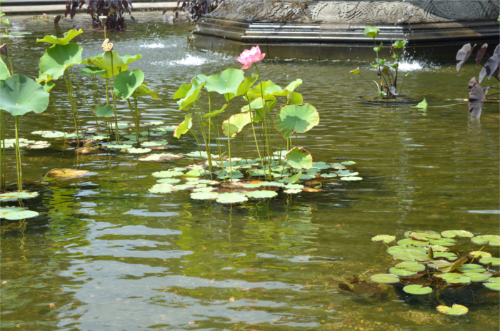 Lily pond, Central Park, NYC, life, catchup, lifestyle, chat