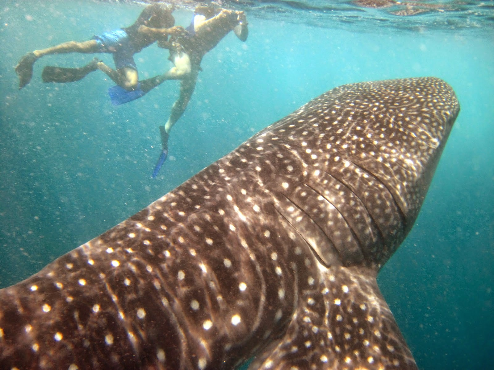 Whaleshark in Maldives