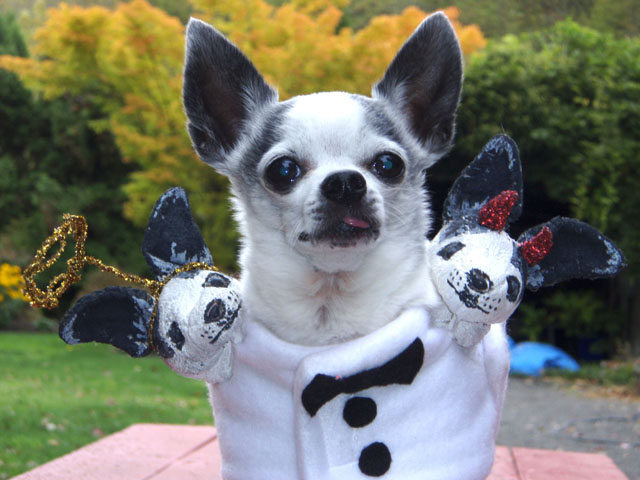 Chihuahua pet costume 1.   & Better Budgeting: Homemade Halloween Costumes for Pets: Chihuahua