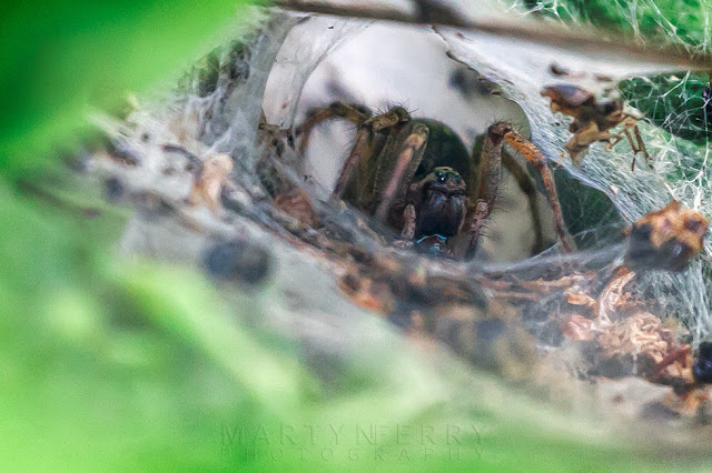 Macro image of a fearsome labyrinth spider in her tunnel web
