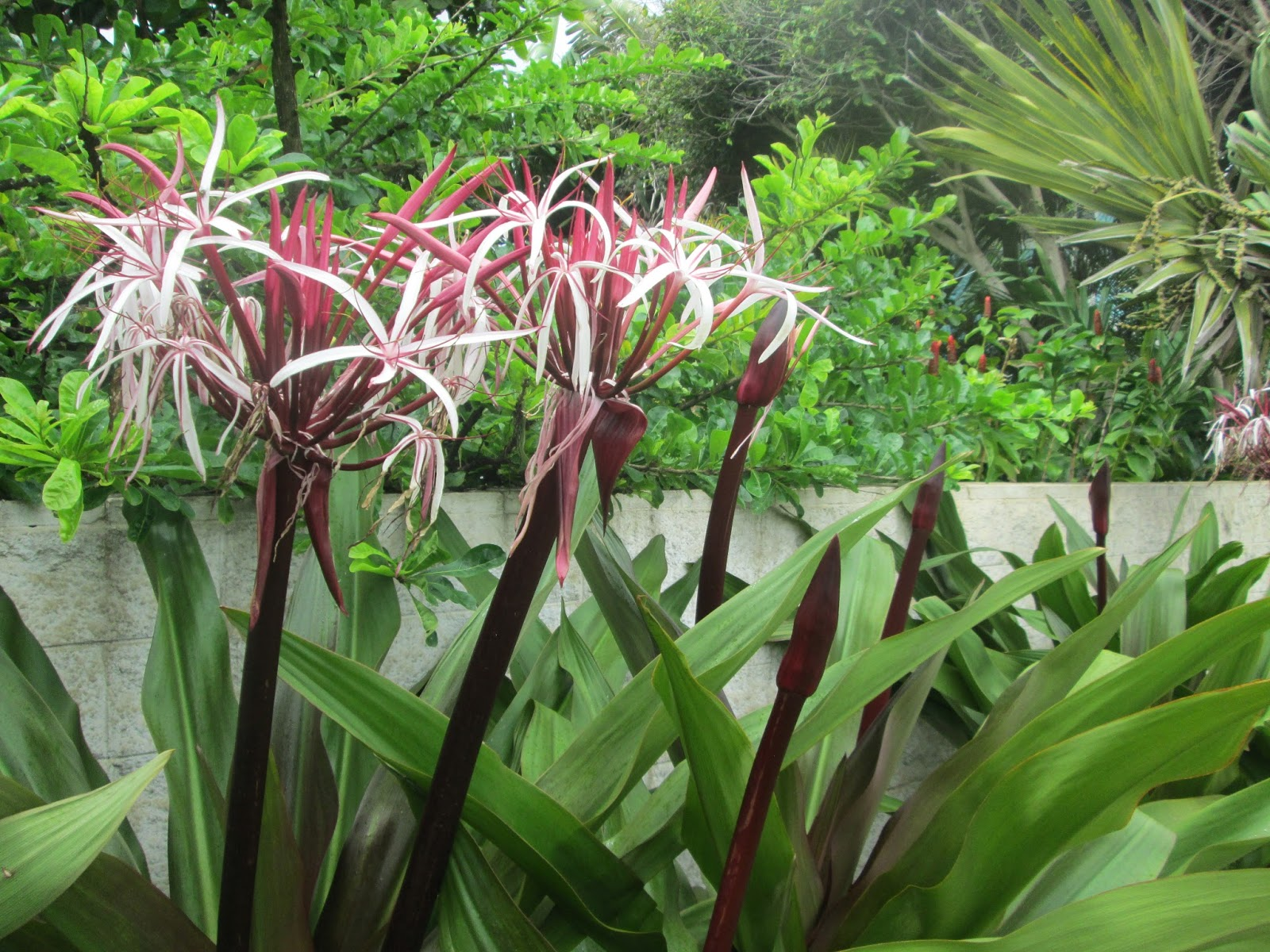 Garden Notes From Hawaii Hawaii Spider Lily Crinum Asiaticum