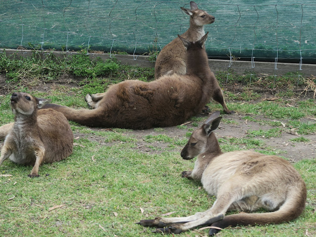 School of Kangaroos,  Maru Koala and Animal Park, melbourne, australia
