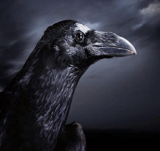 Cuervo-celos