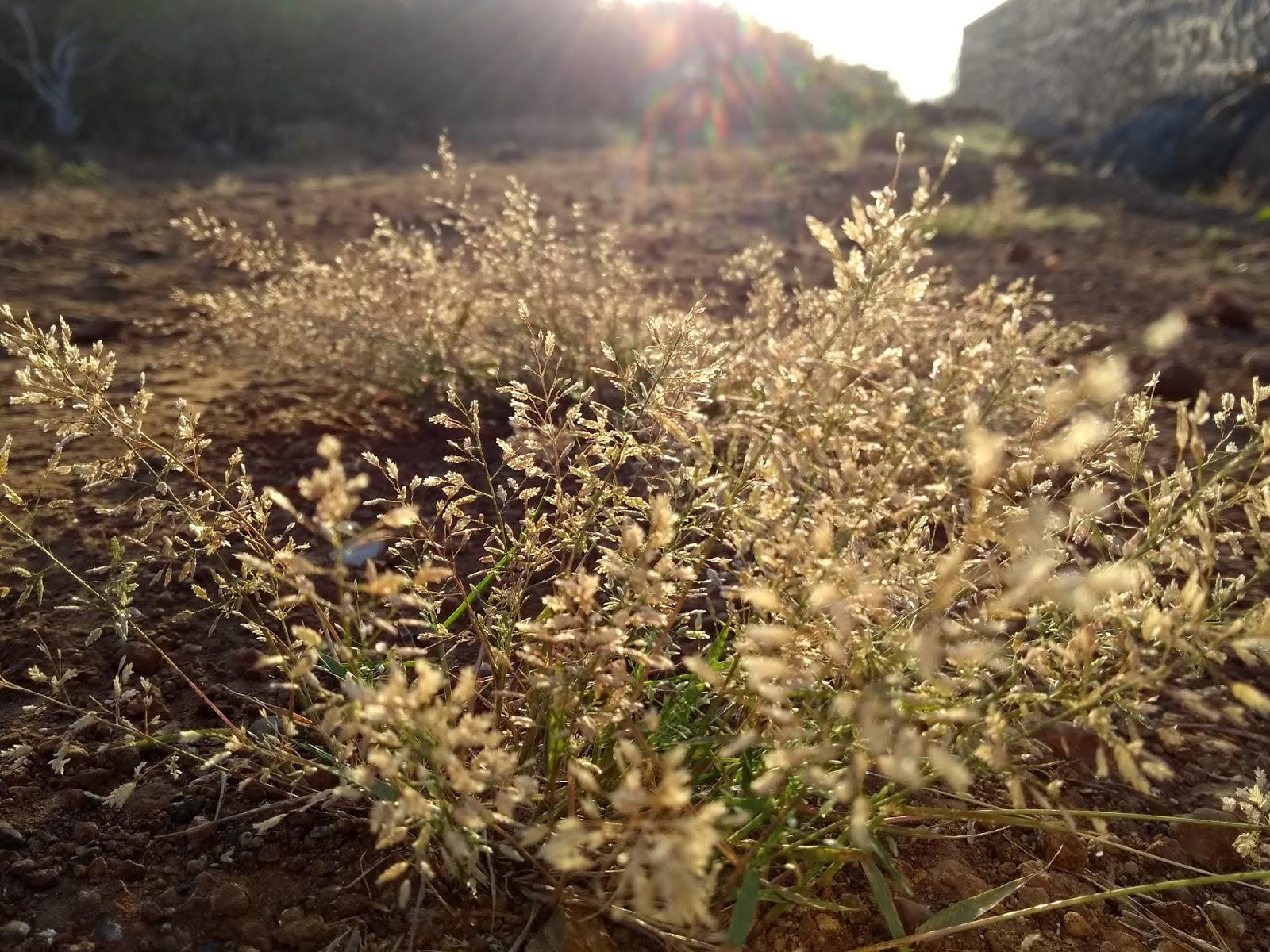 Grass, Poaceae, Pune