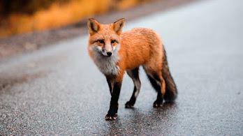 Red Fox, 4K, #4.2353