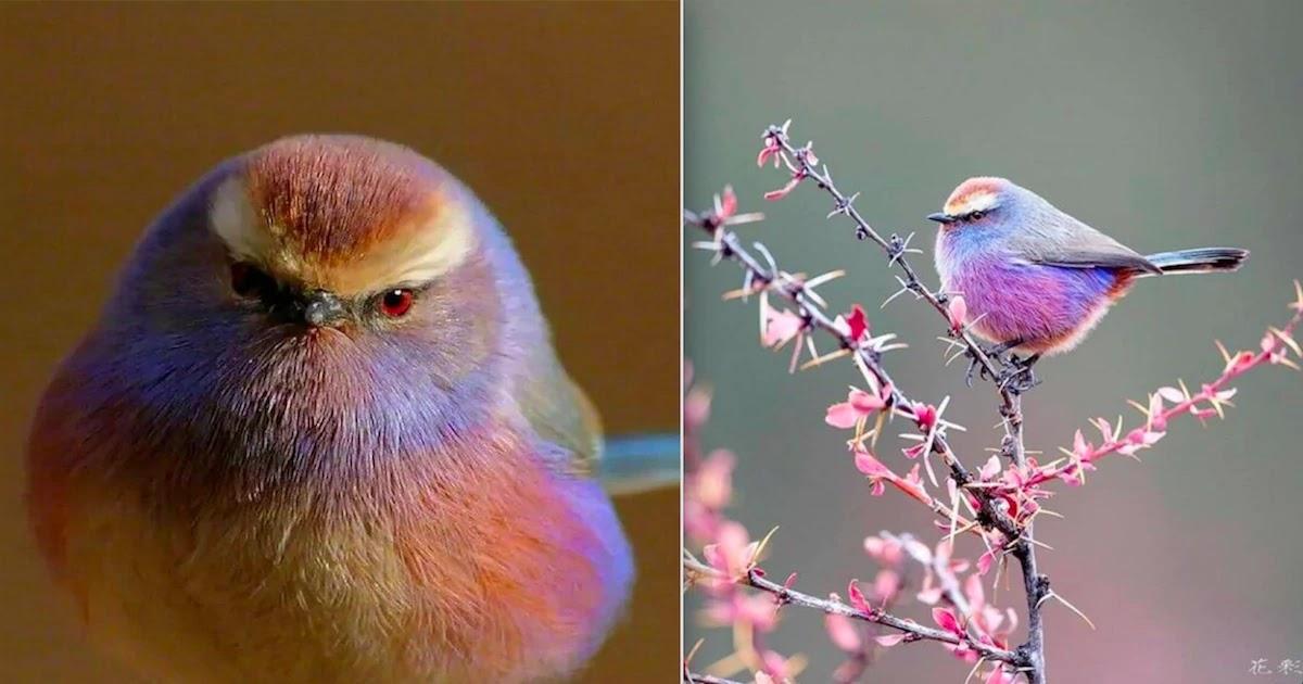Meet The White-Browed Tit-Warbler: The Gorgeous Rainbow Bird!