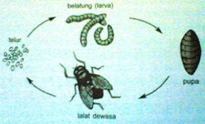 Metamorfosis pada Lalat