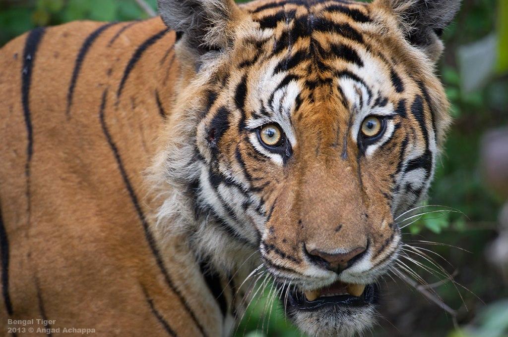 Tiger portrait AngadAchappa