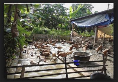kandang bebek petelur tipe ranch produktif