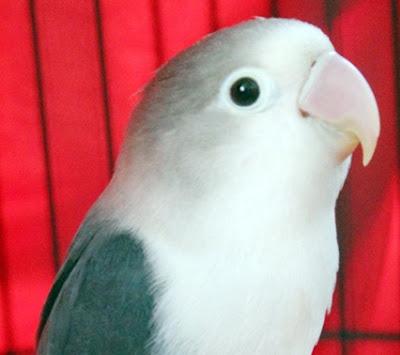 lovebird jalal