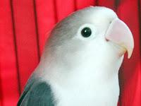 Lovebird Jalal: Pesaing Lovebird Kusumo