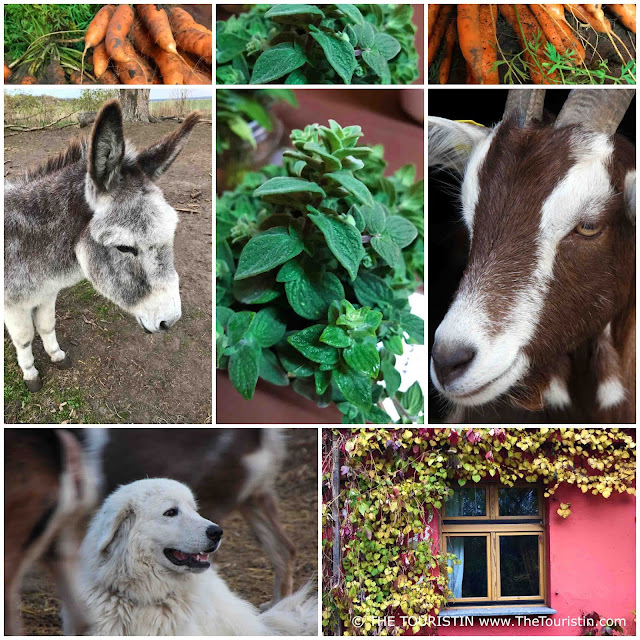 Donkey, goat, herd dog, carrots and herbs at a farm shop.