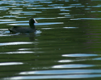 waverley abbey black coot on river