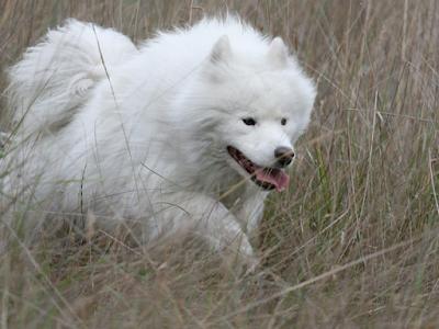 Một số hình ảnh phối giống chó samoyed