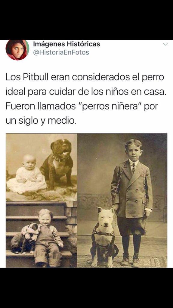 los pibull antiguamente los tenían como perros ideales para cuidar de niños