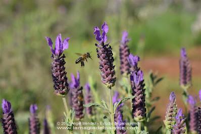 lavandula stoechas, lavanda, cantueso, jardín mediterráneo, abejas