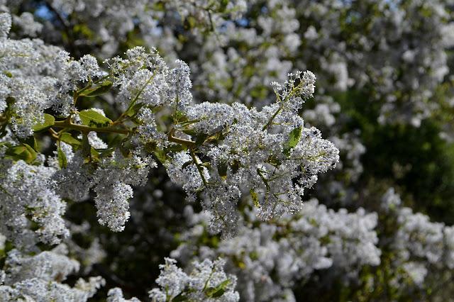 white ceanothus flowers