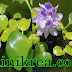 Manfaat Tumbuhan Eceng Gondok Untuk Kesehatan