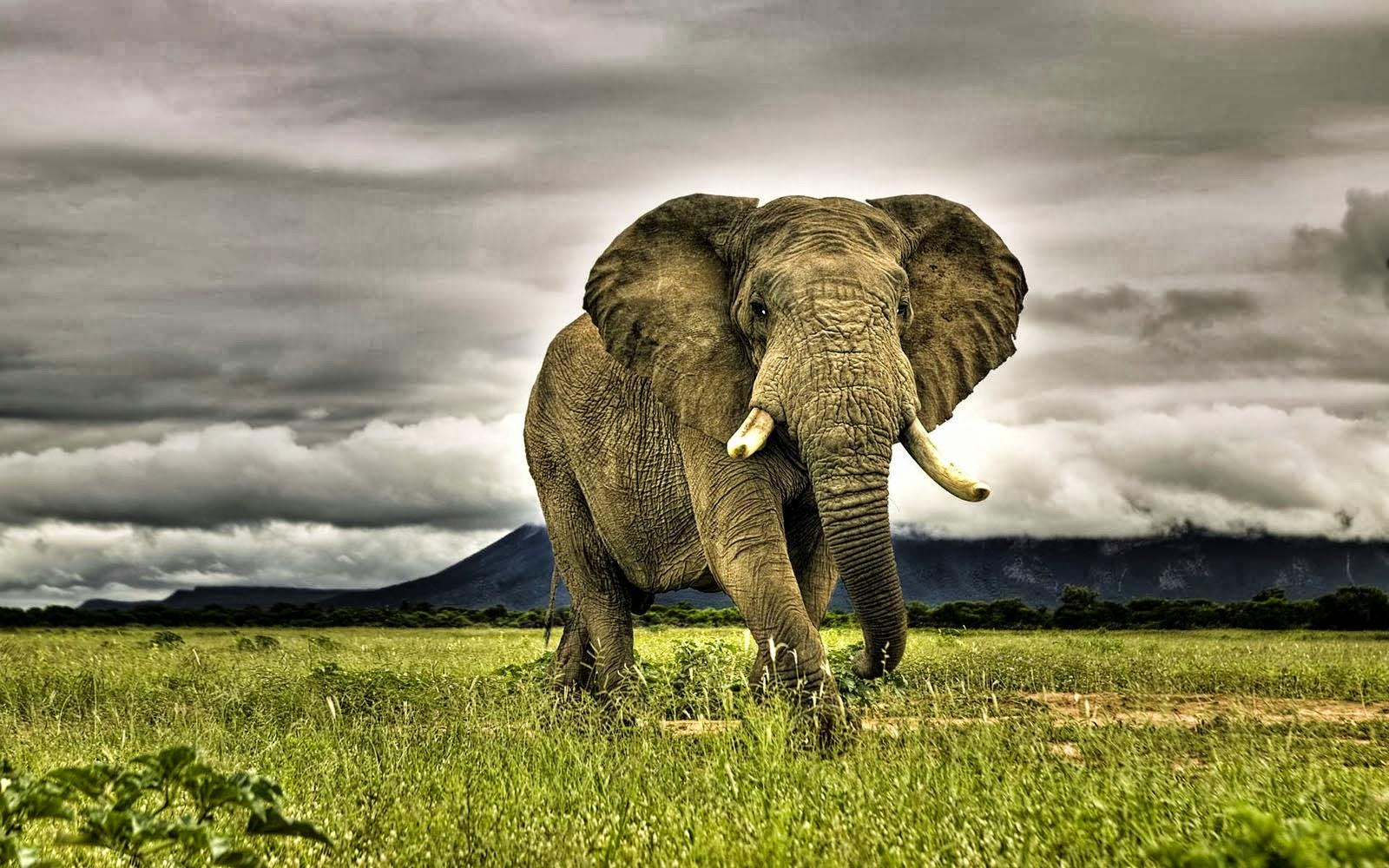 AFRICAN ELEPHANTS HD WALLPAPERS