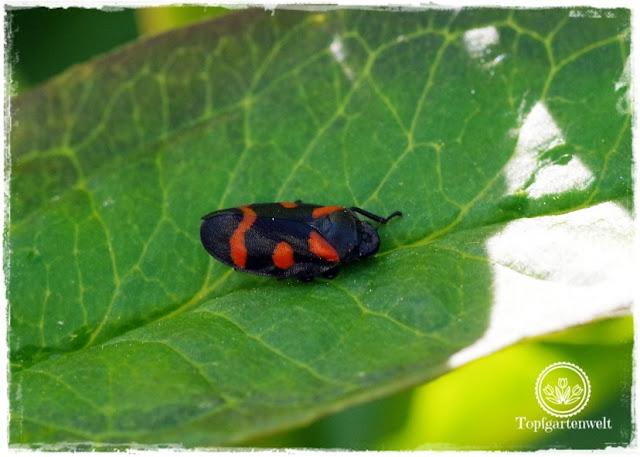 Gartenblog Topfgartenwelt Unkrautvlies im Test: Käfer