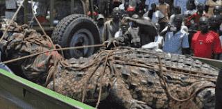 Buaya Buas Seberat 1.000 Kg Ditangkap di Uganda danau Victoria