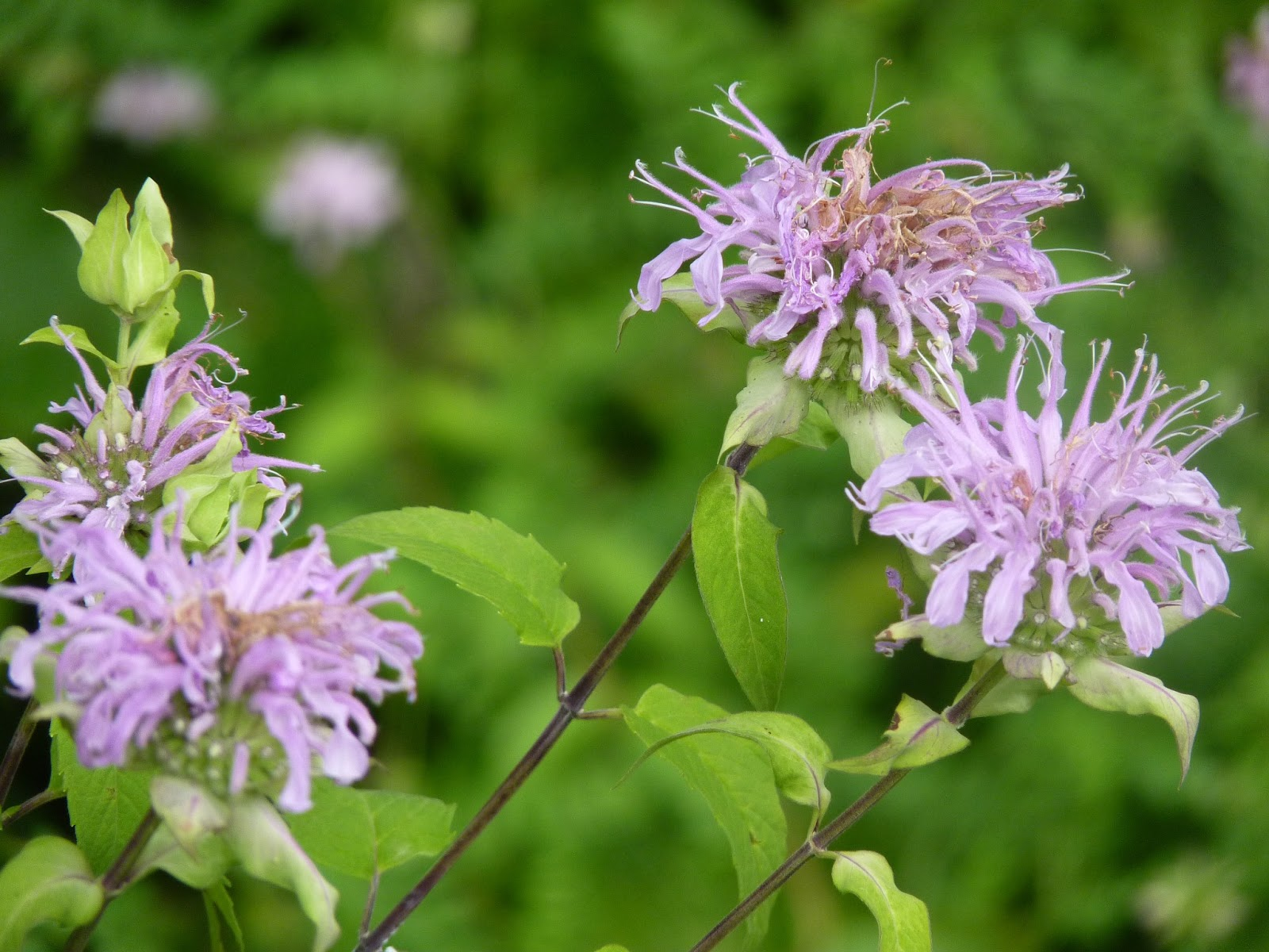 Granny Sue's News and Reviews: Roadside Weeds: Wild ...
