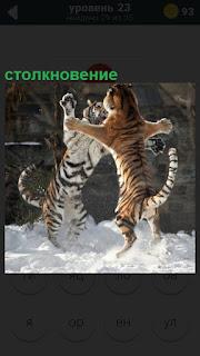 Столкновение двух тигров, которые поднялись на задние лапы друг перед другом