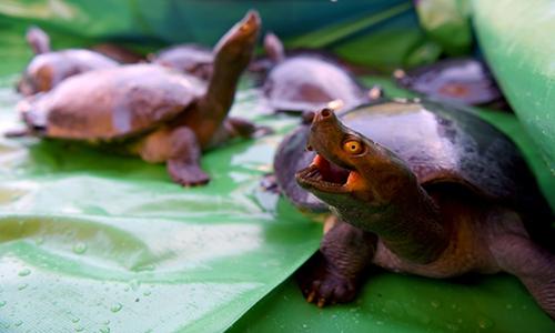 Campuchia thả rùa hoàng gia cực kỳ nguy cấp ra tự nhiên