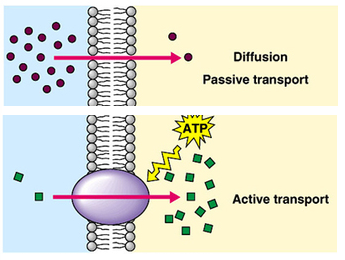 compare and contrast active transport and group translocation Active transport is the movement of molecules across a membrane requiring energy to be expanded by the cell.