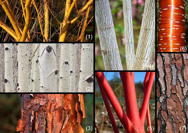 arbori ornamentali gradina, design gradina, pomi, scorata decorativa, scoarta colorata , arbori, gradina iarna, firma peisagistica, horticultor