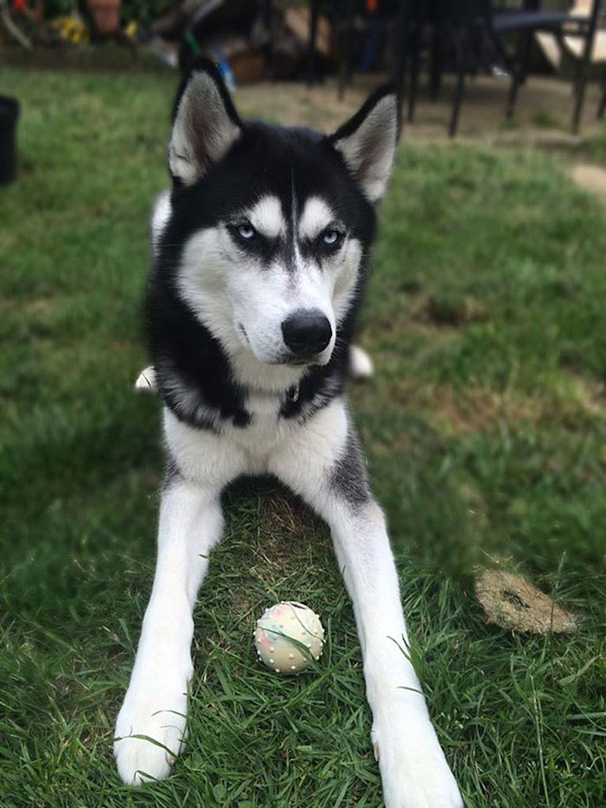 Owner Pretends To Throw Ball And Successfully Captures The Moment Dog Realizes He Was Betrayed - Here is Anuko, waiting (a bit impatiently) with his ball for his owner to throw it